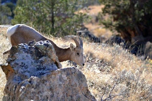çöl, colorado, koyun, vahşi yaşam fotoğrafçılığı içeren Ücretsiz stok fotoğraf