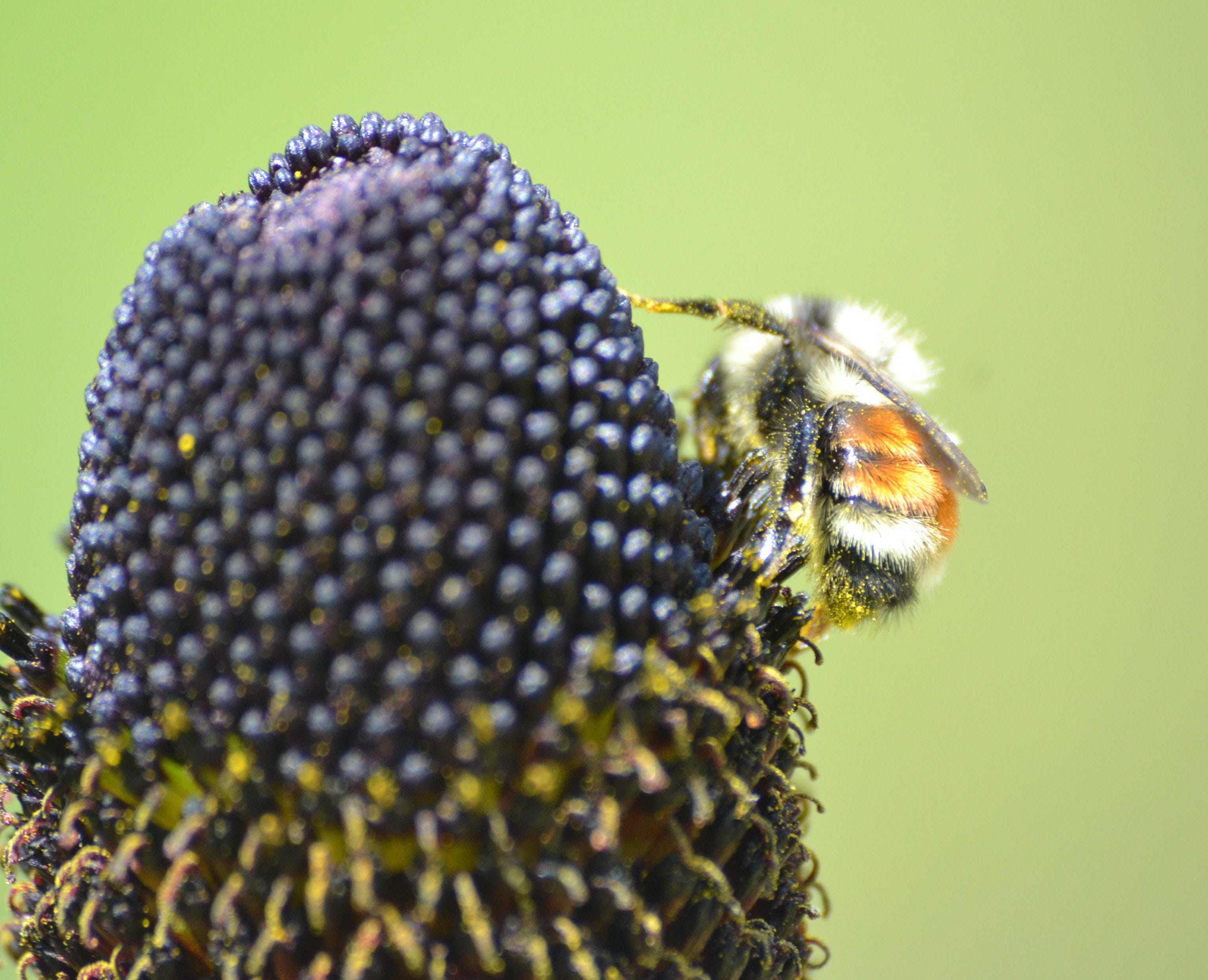 Free stock photo of bees, mother nature, yellow flowers