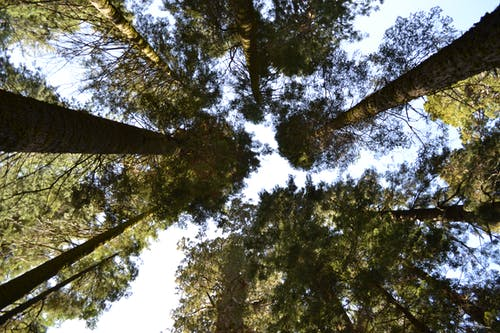 çam ağaçları, Doğa Ana, orman içeren Ücretsiz stok fotoğraf