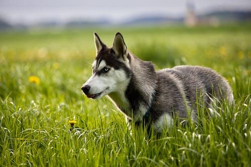 Close-Up Shot of a Siberian Husky on a Grassy Field