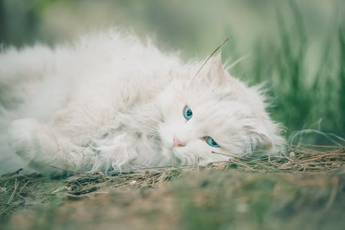 White Cat Lying on Brown Dried Grass