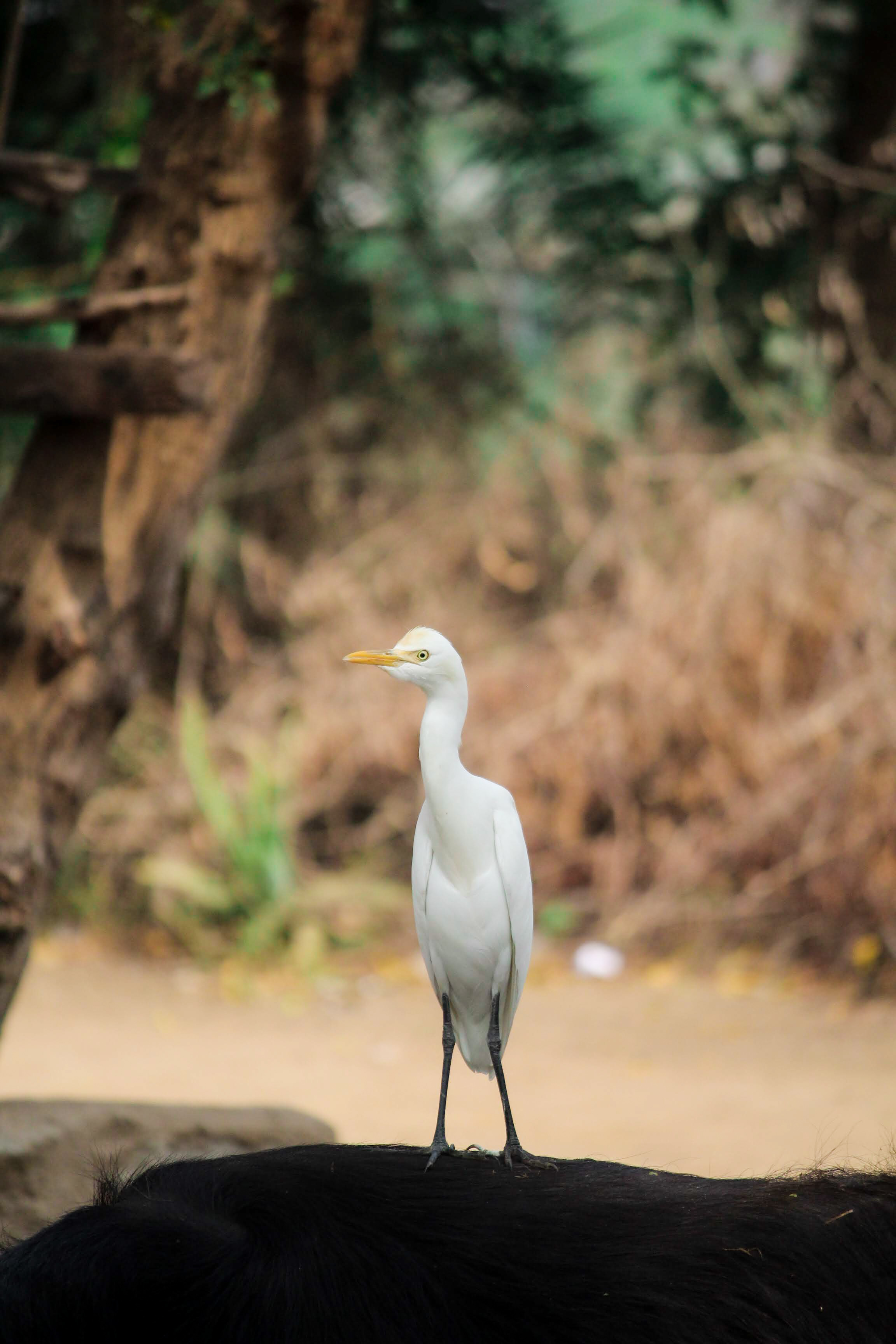 close up shot of a great egret standing