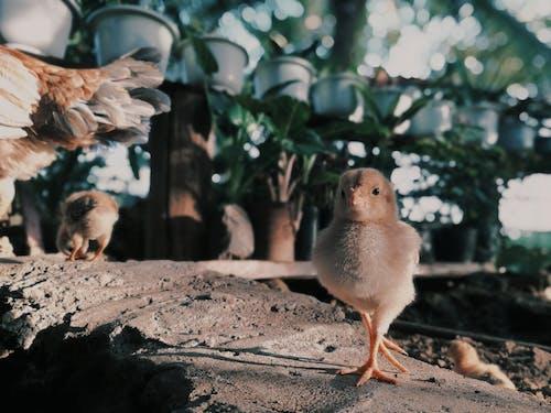 Fotos de stock gratuitas de al aire libre, animal domestico, aves de corral