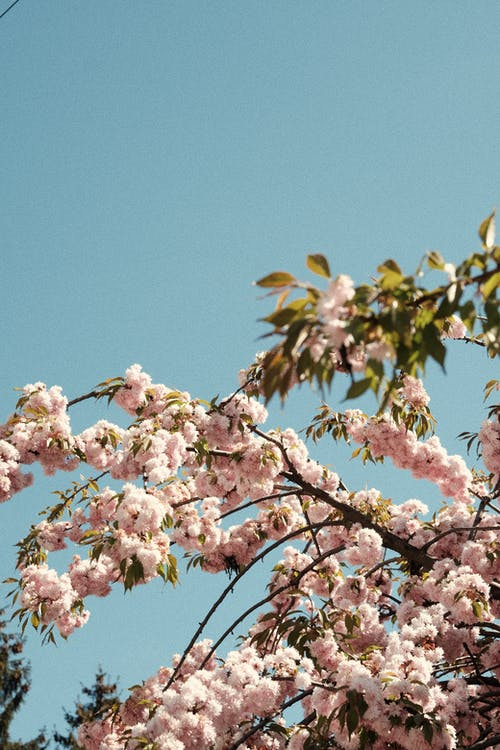 Free stock photo of blooming, blue sky, branch