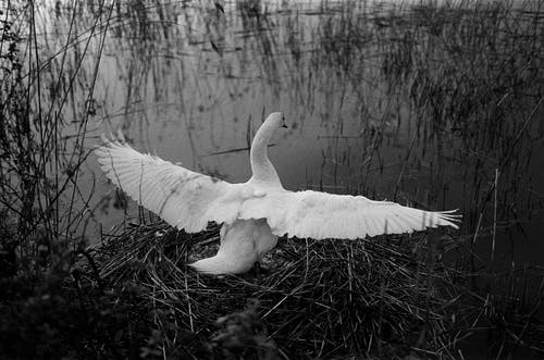 A Swan Extending Its Wings