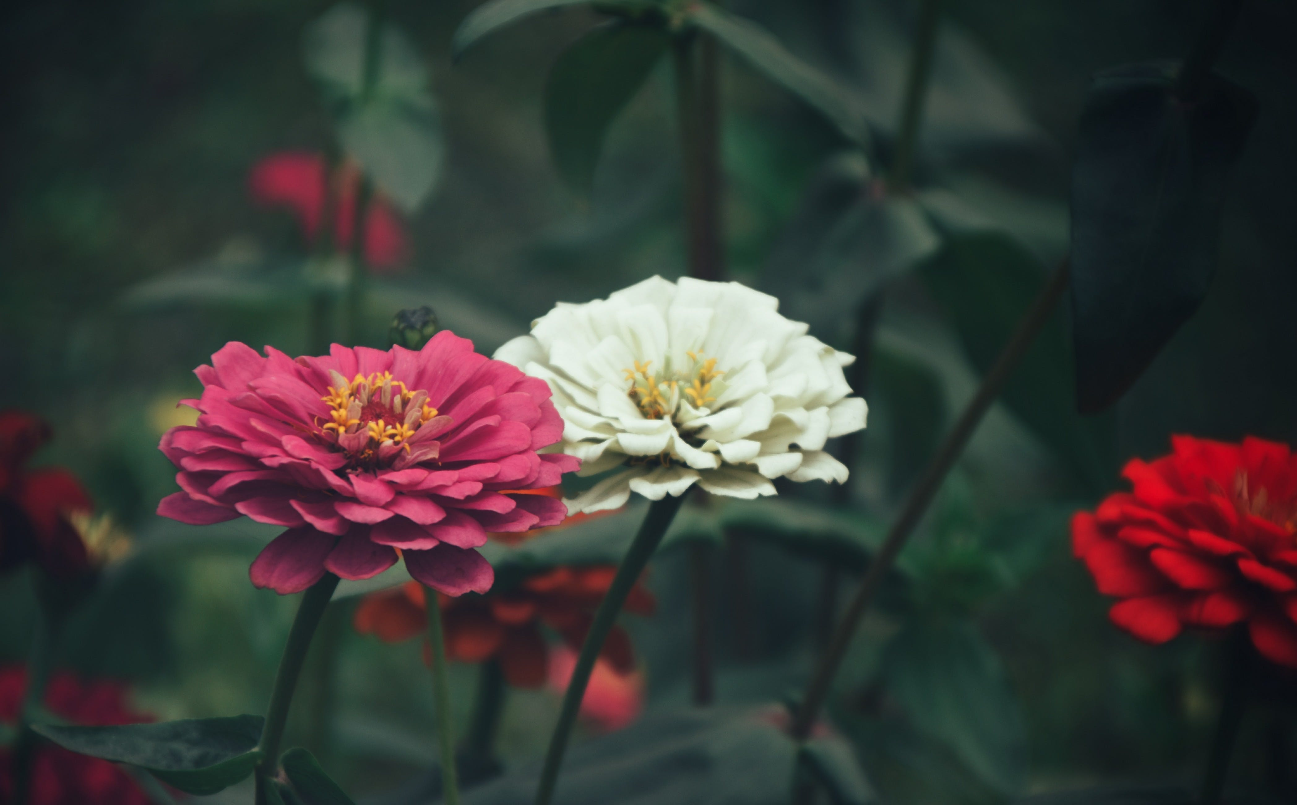 Close-Up Photography of Zinnia Flowers