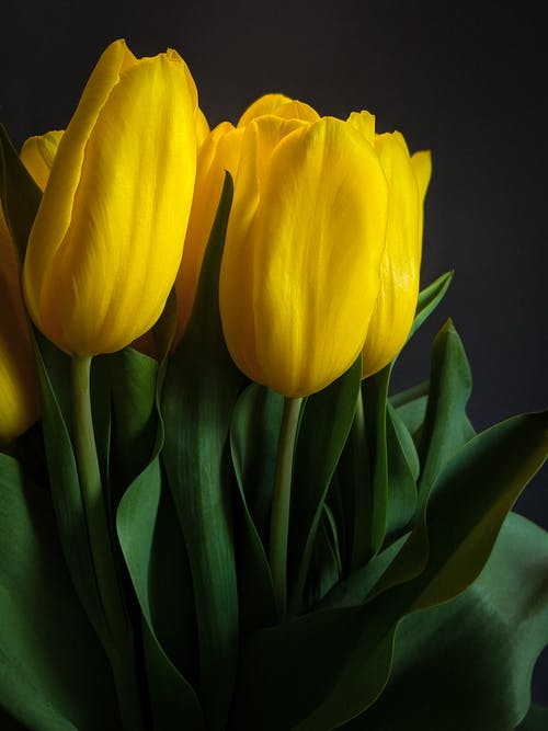 Yellow Tulips in Close Up Photography