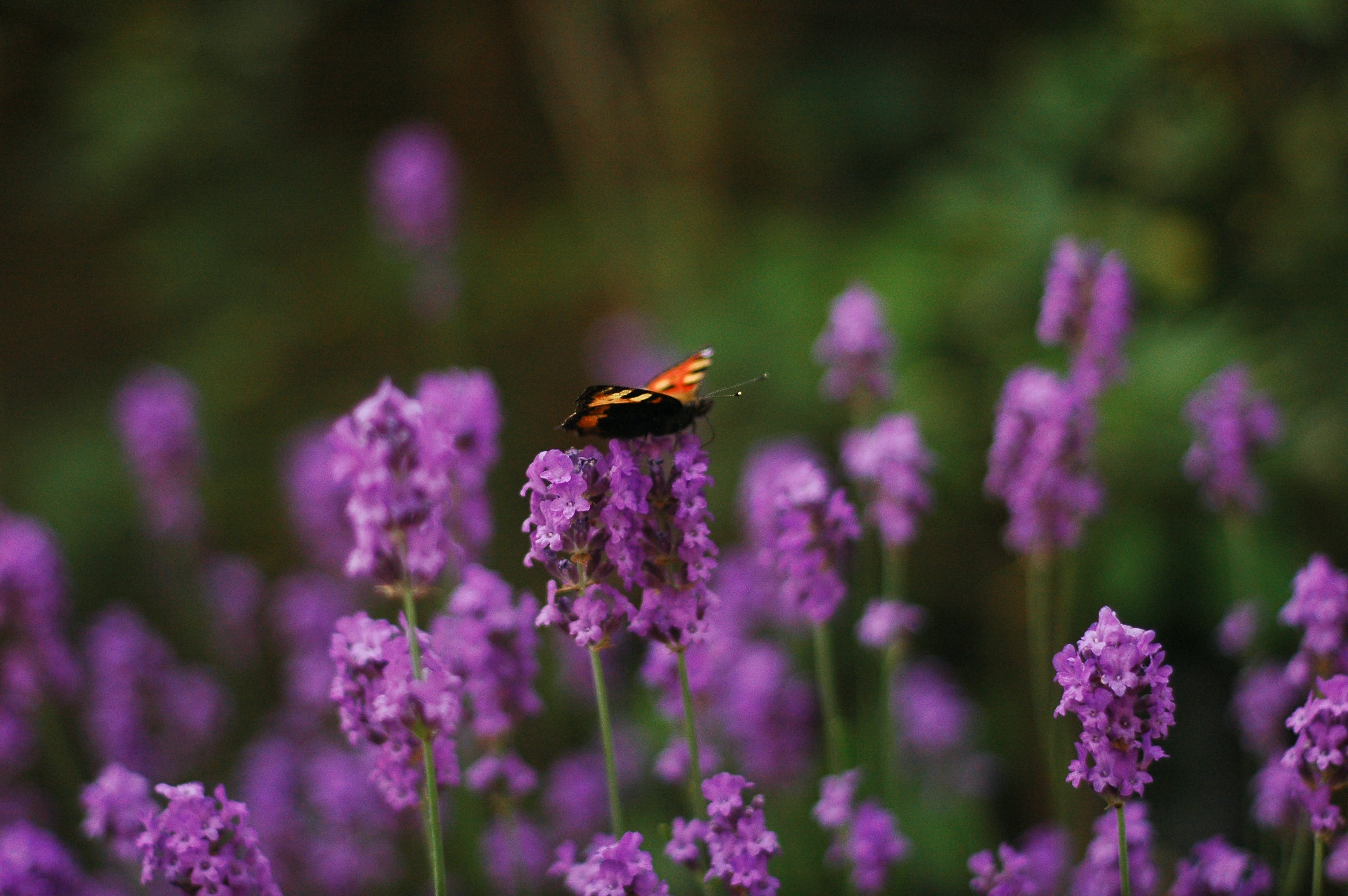 Free stock photo of blooming lavender, butterfly, dof, grainy
