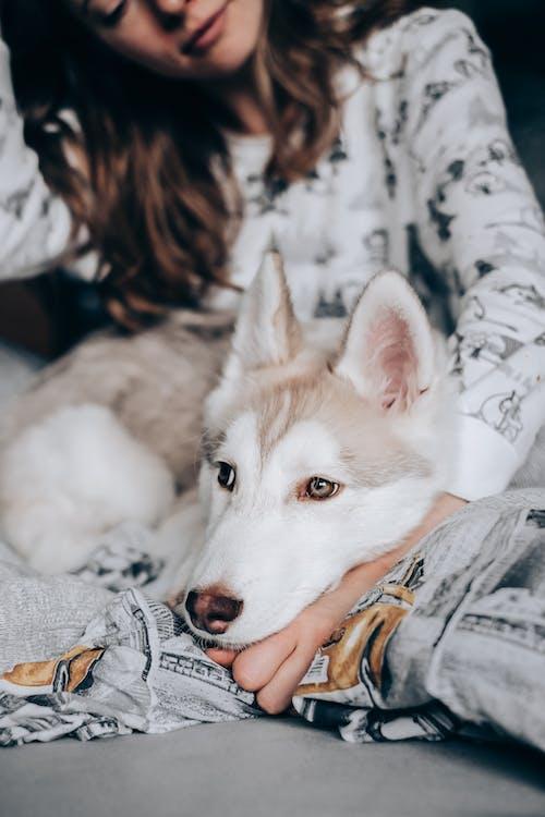 White Siberian Husky Lying on Blue Textile