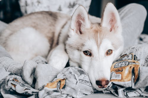 Free stock photo of animal, at home stay home, canine