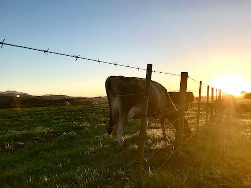 alan, arazi, büyükbaş hayvanlar, Çiftlik içeren Ücretsiz stok fotoğraf