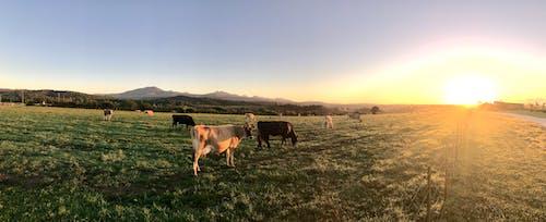 Ảnh lưu trữ miễn phí về bầu trời quang đãng, bình Minh, bò cái, cánh đồng