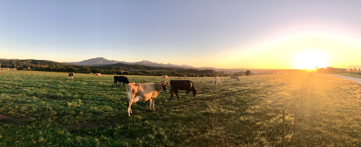 bầu trời quang đãng, bình Minh, bò cái