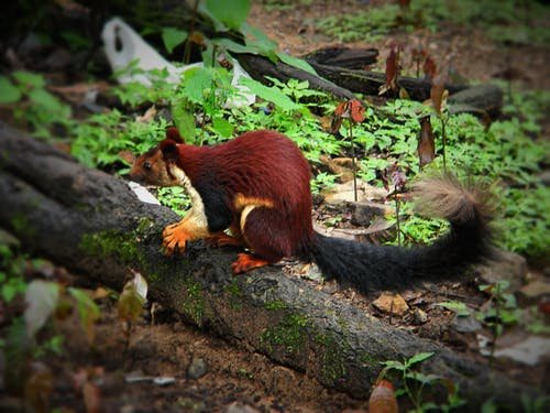 Free stock photo of Indian giant squirrel