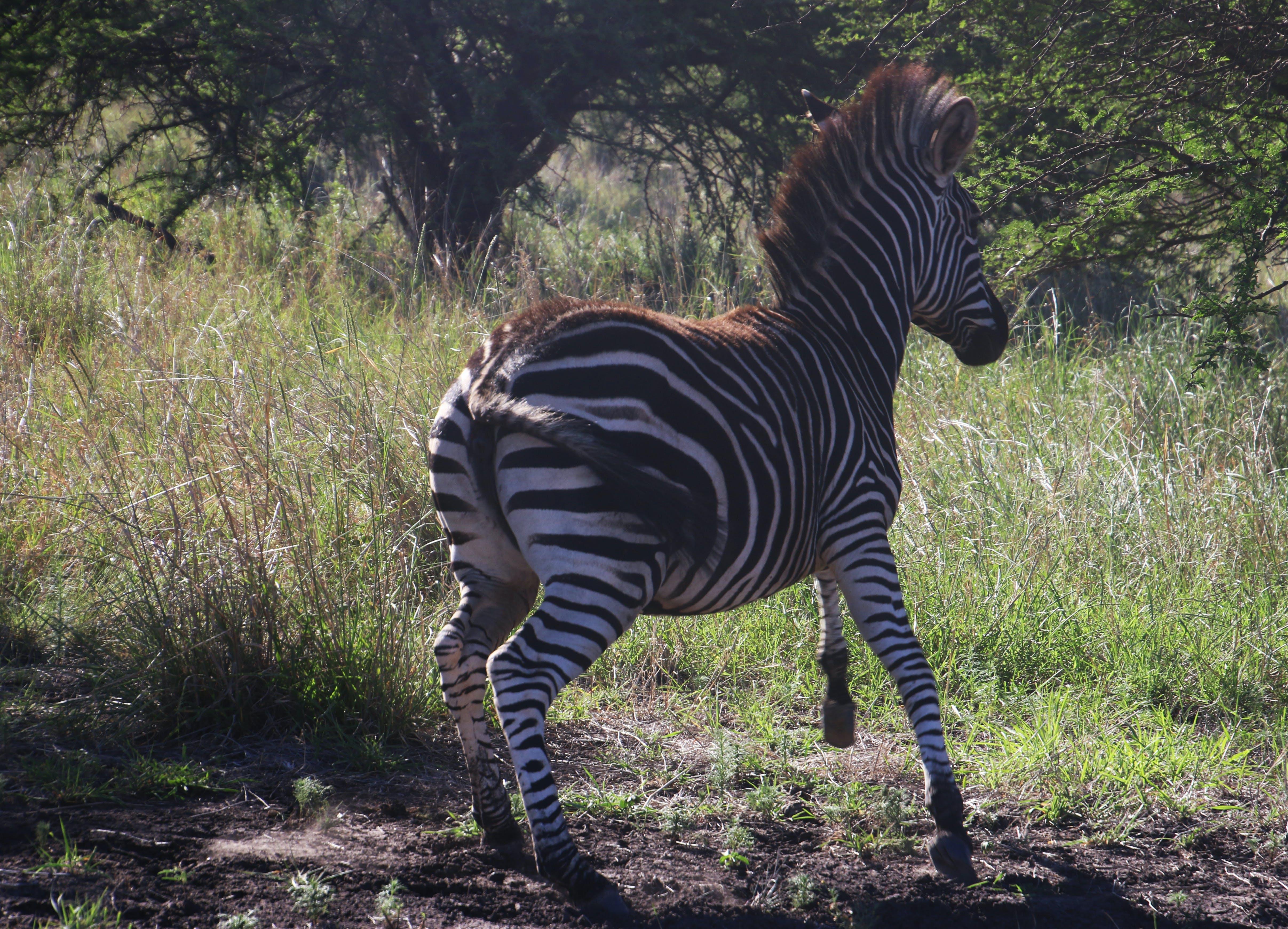Photography of a Zebra Running
