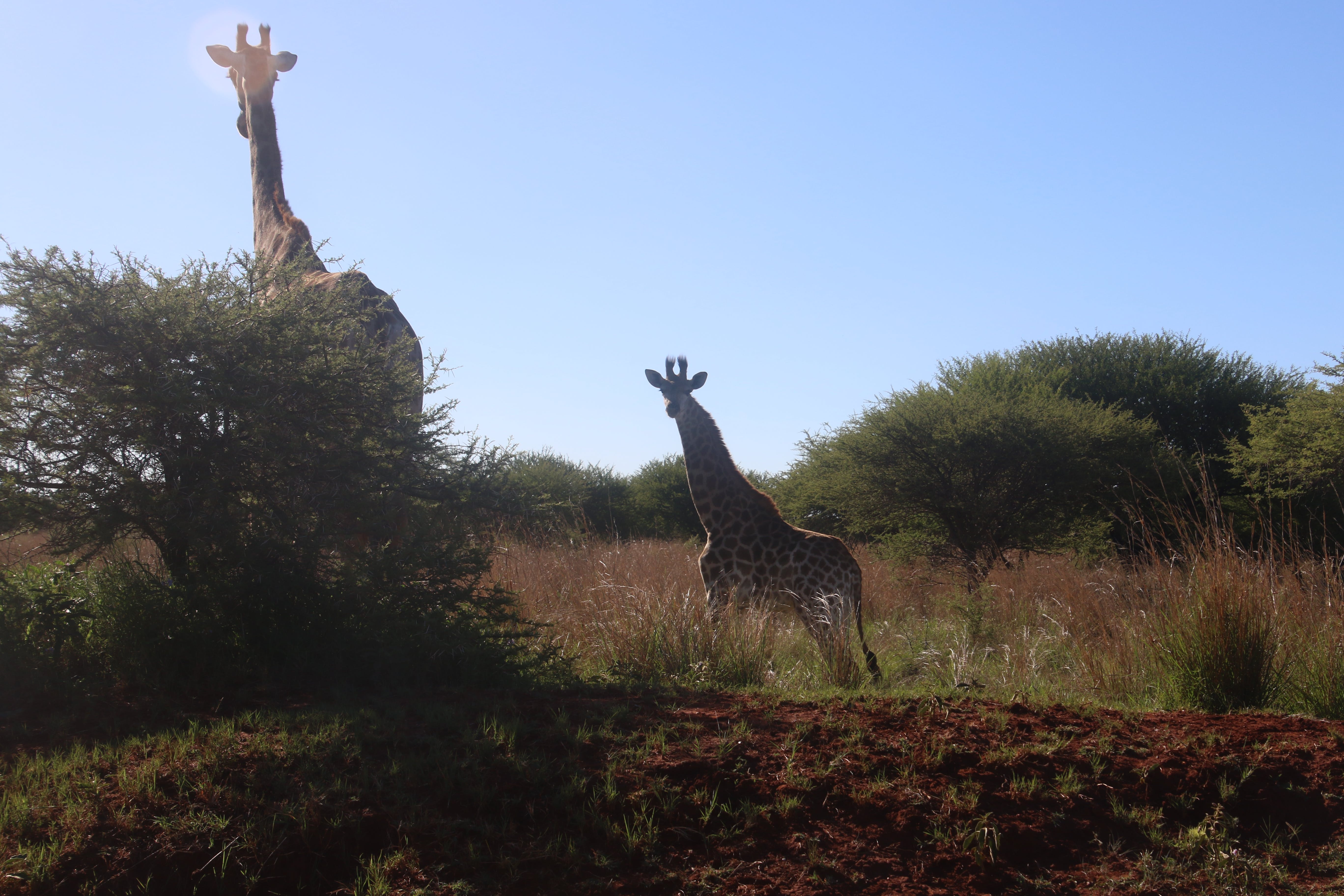 Photography of Two Giraffes Near Green Tree