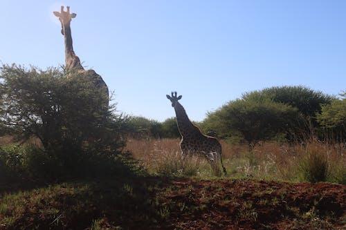 Бесплатное стоковое фото с высокий, дерево, деревья, дикие животные