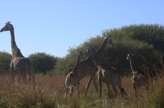 Photo of Giraffes in the Field