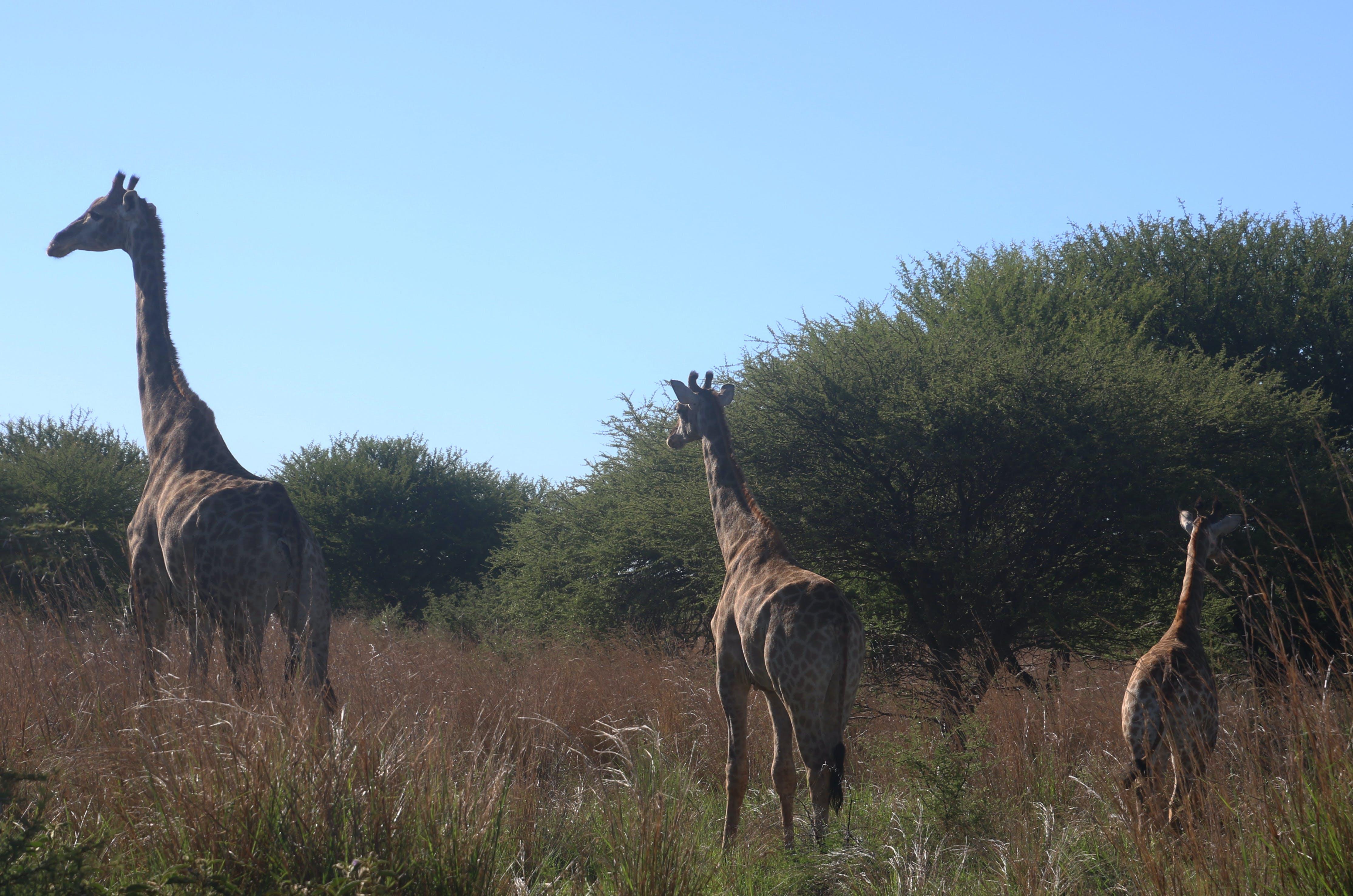 Photo of Giraffes on the Field
