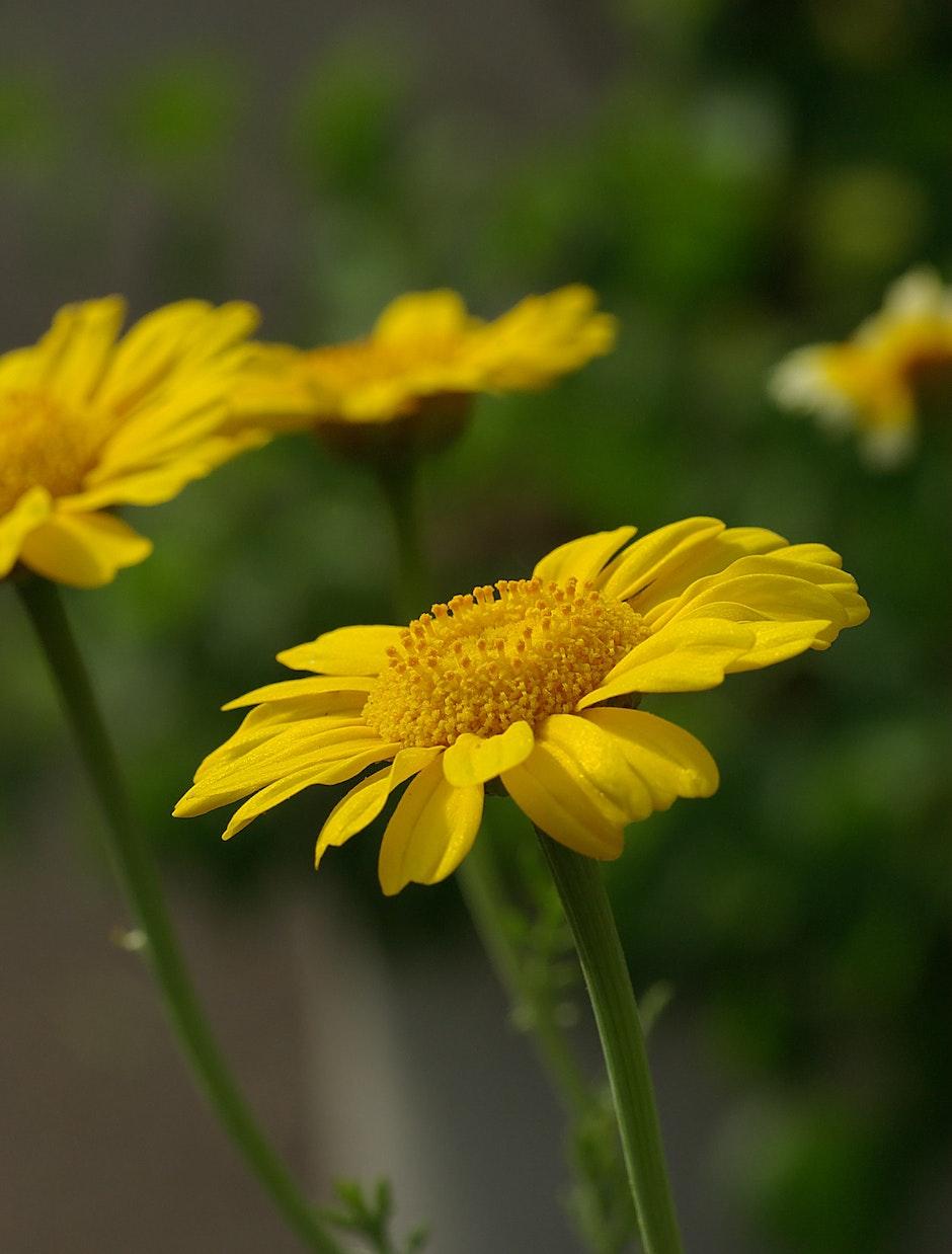asteraceae, bloom, blossom