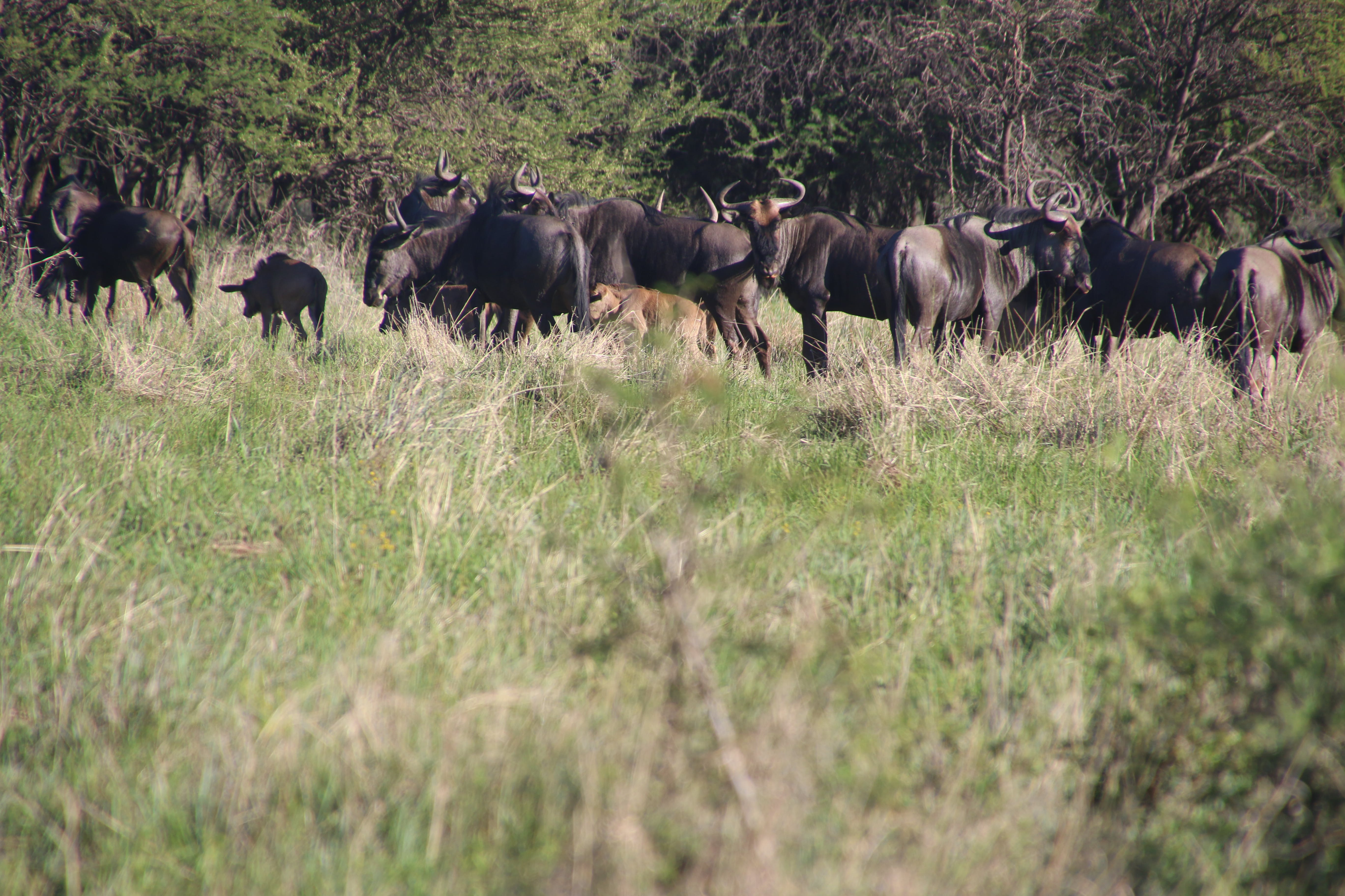 Photo of Buffalos in the Field