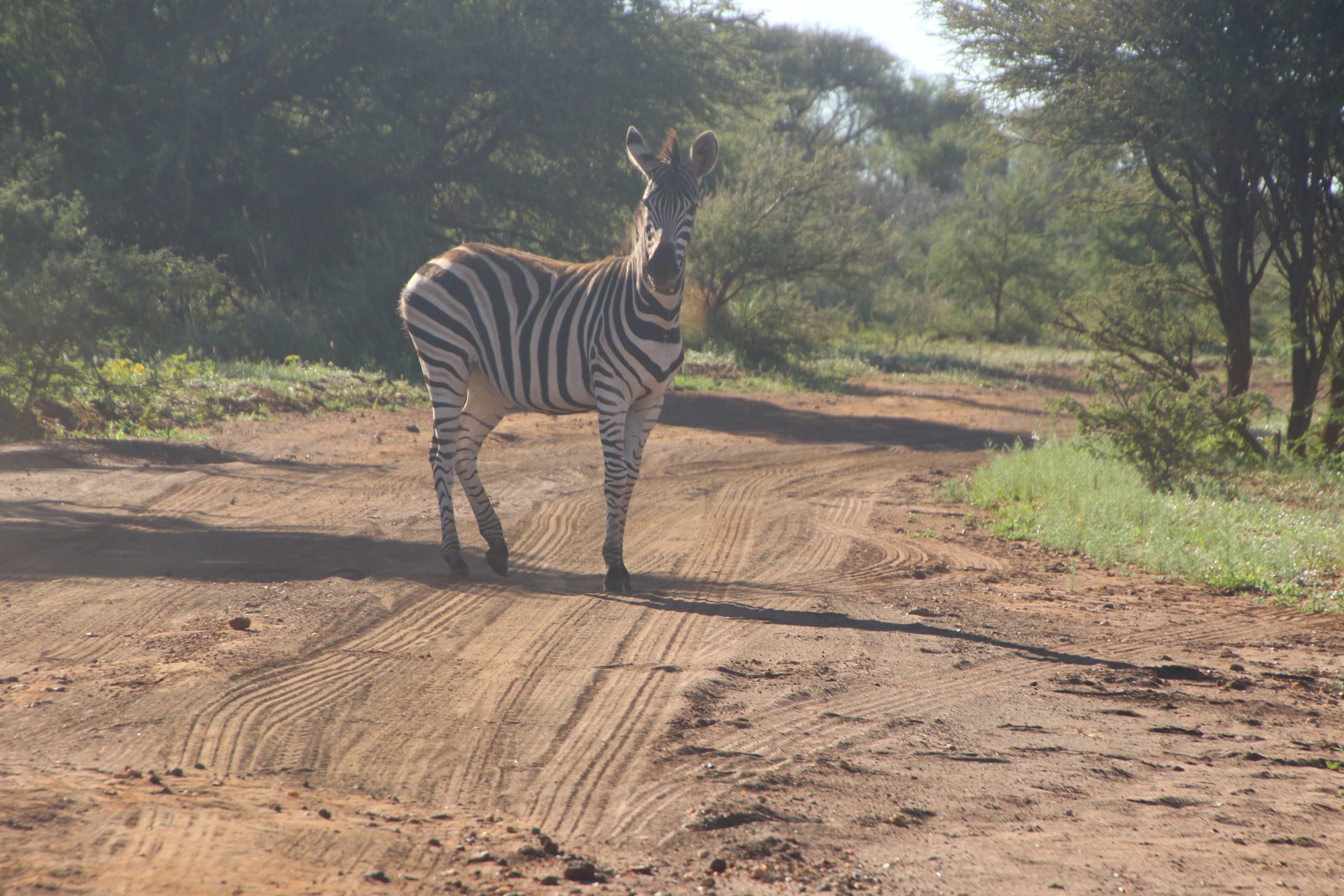 Photo of Zebra on Dirt Road
