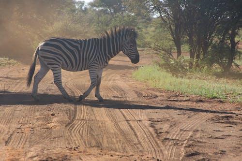 Photo of Zebra Crossing on Dirt Road