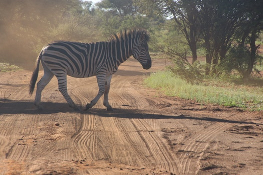 Photo of Zebra Crossing on Dirt Road
