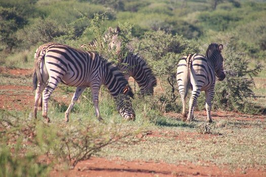Herd of Zebras Eating Grass