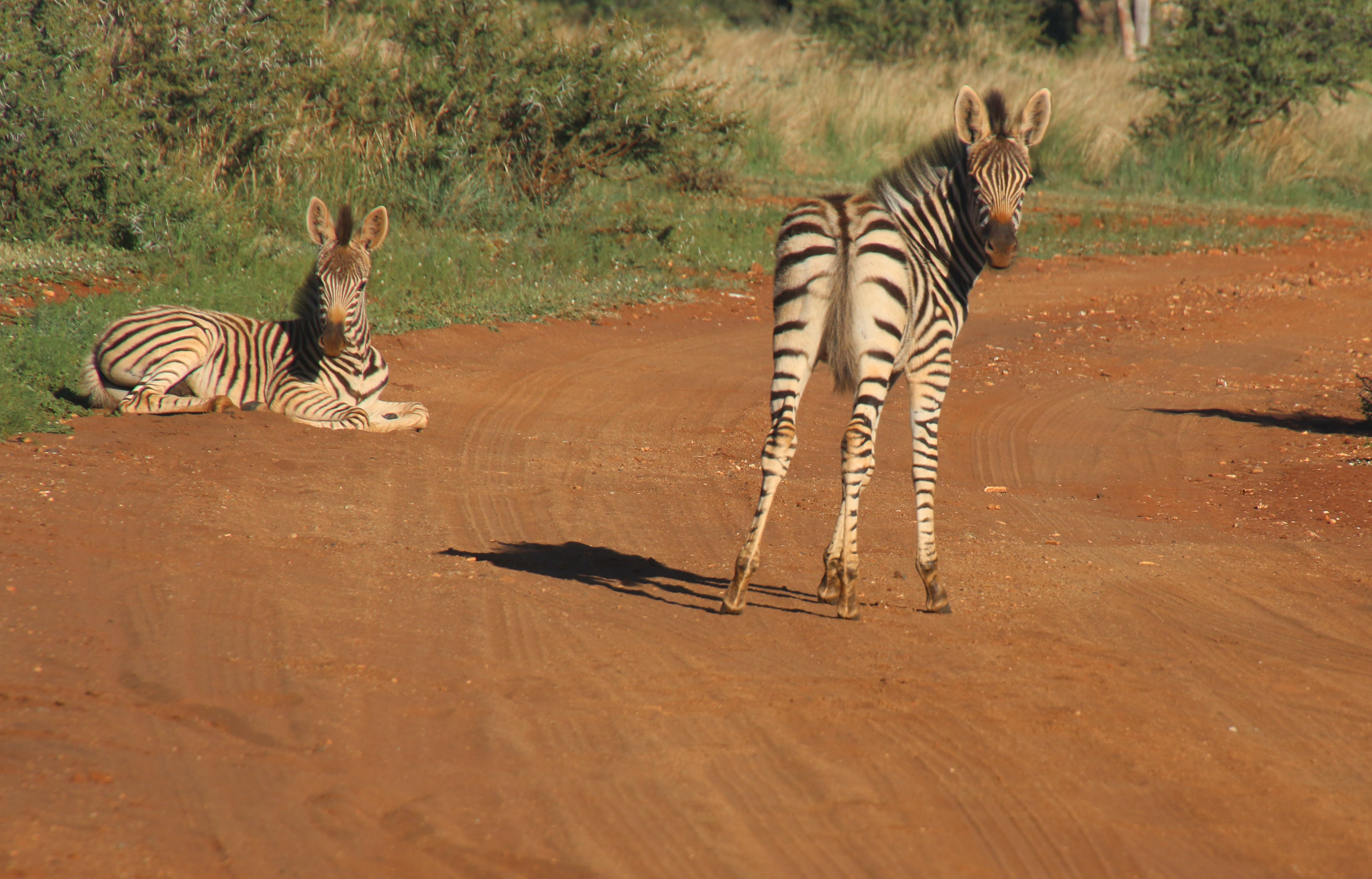 Photography of Two Zebras on Road