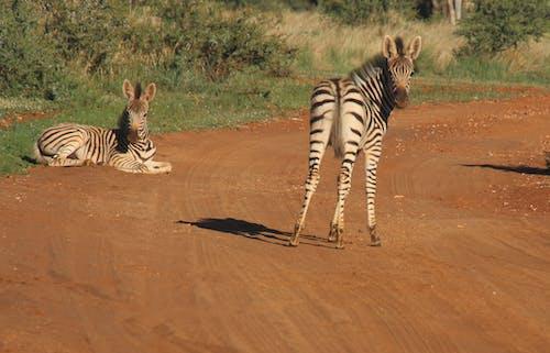 Fotografie Von Zwei Zebras Auf Der Straße