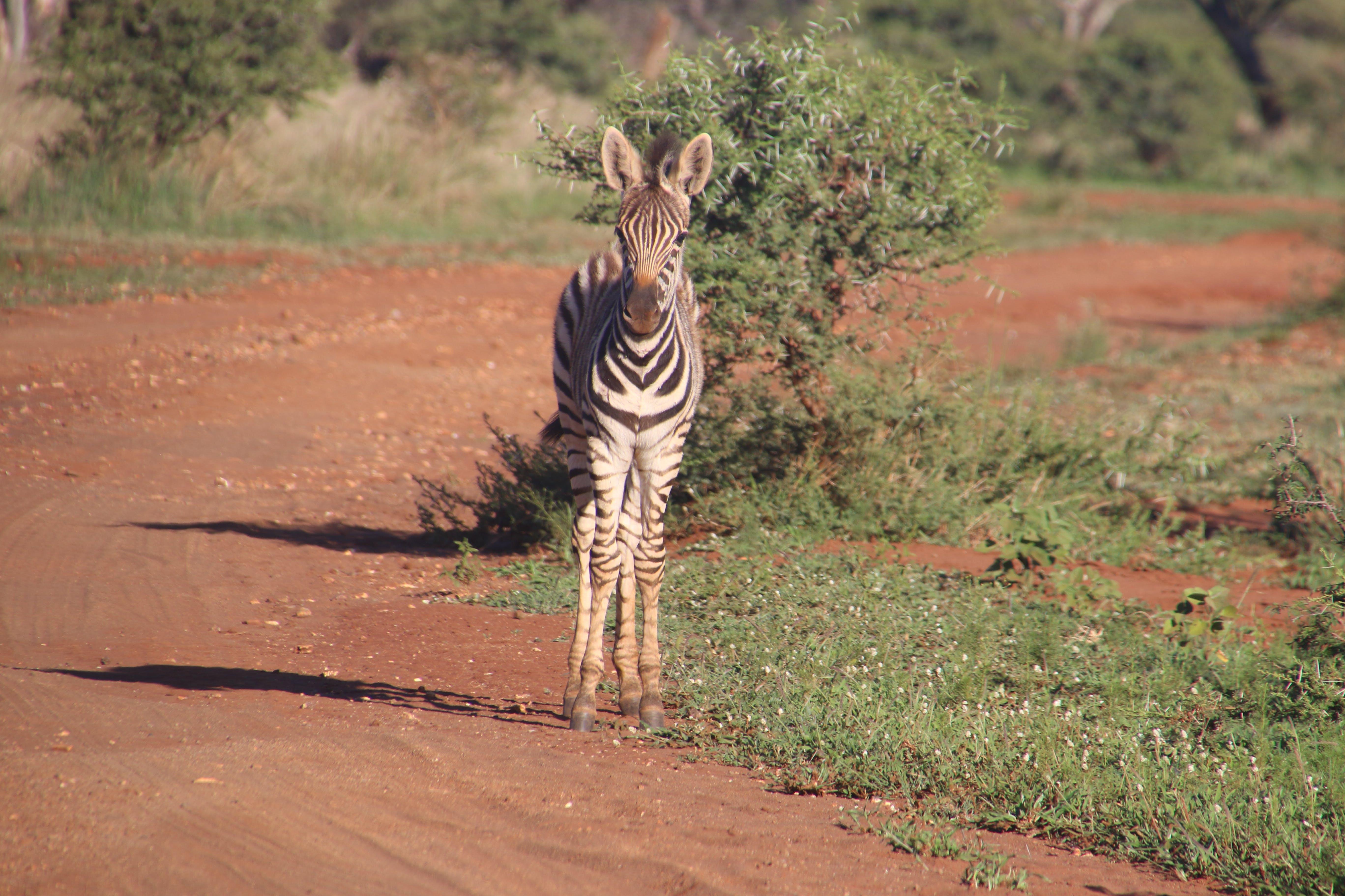 Photography of Zebra On Road