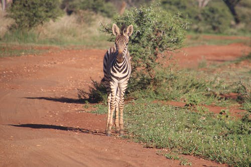 Photography of Zebra On Road