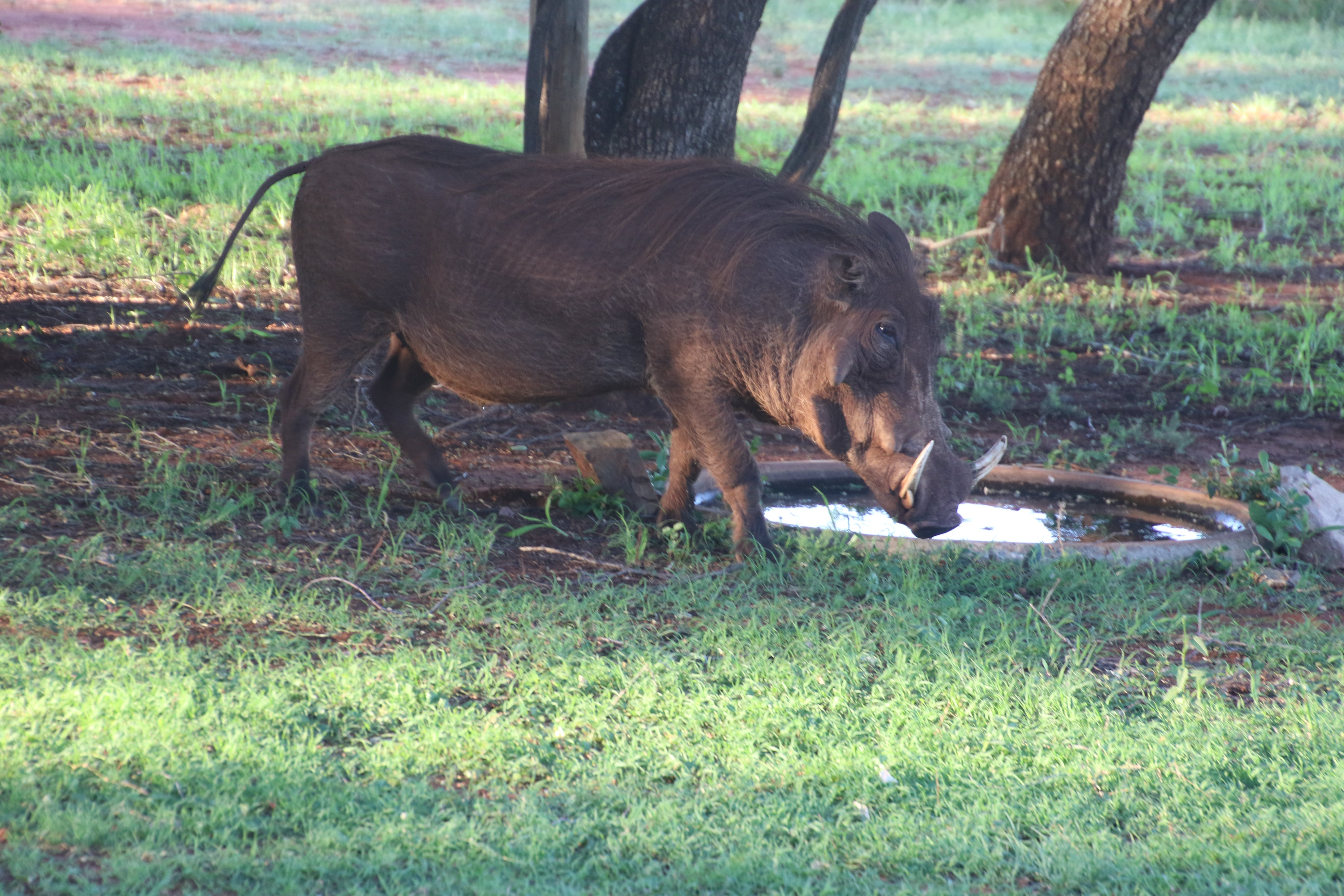 Photo of a Wild Boar