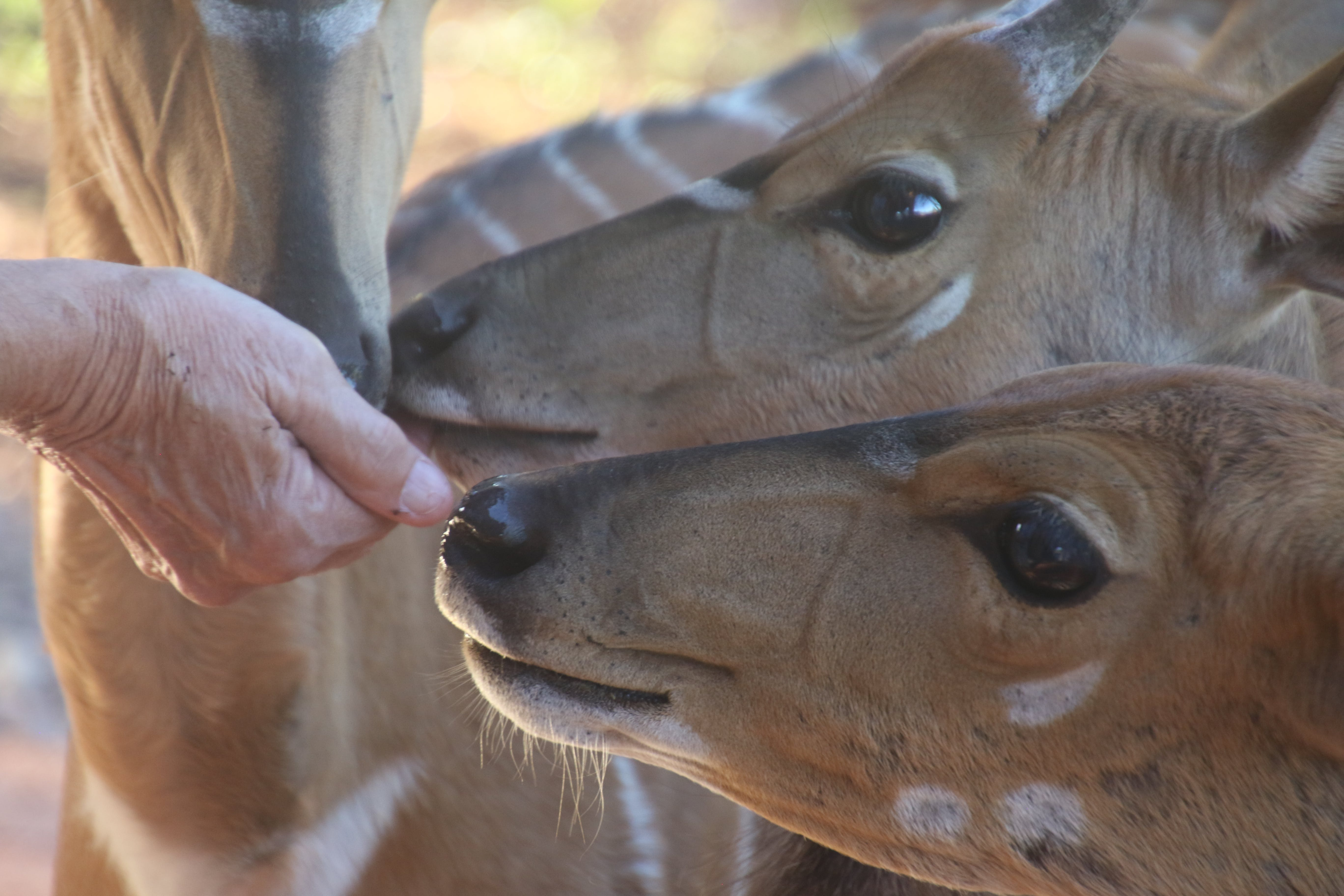 Close-Up Photo of Person Feeding Brown Deer