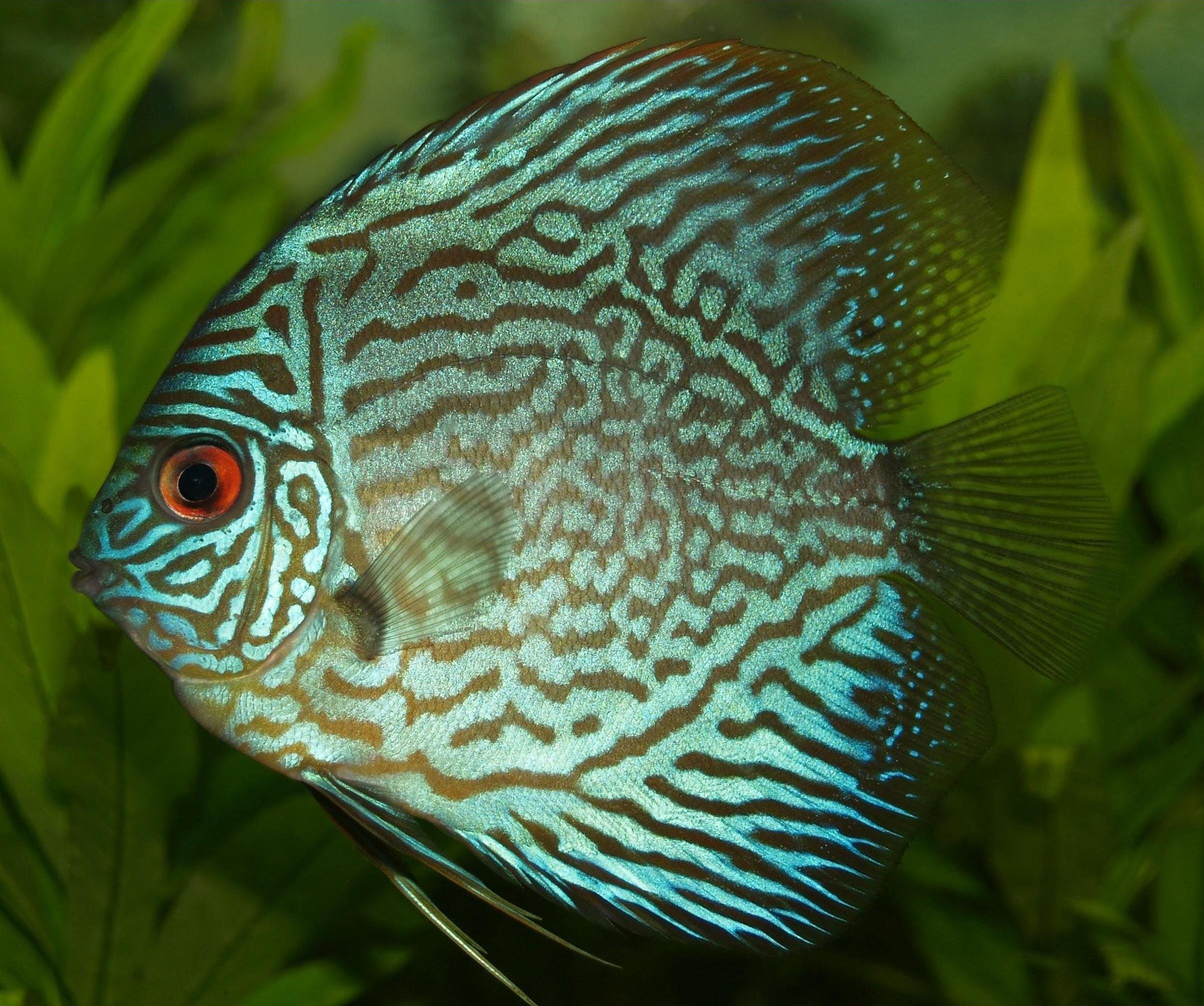 Blue and Black Fish