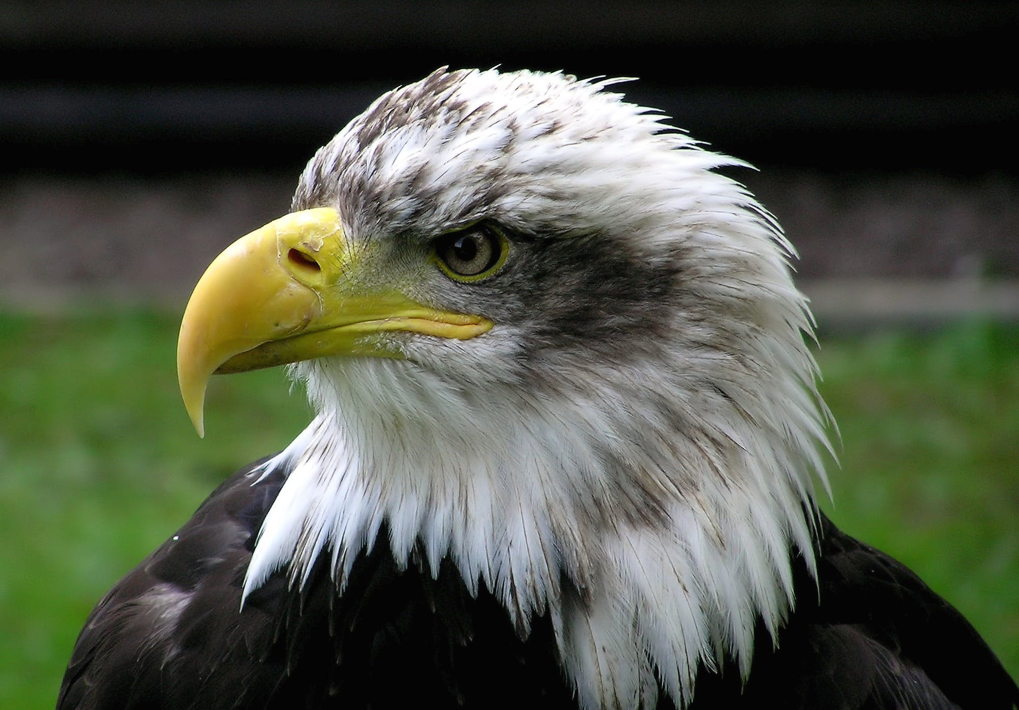 White and Black Eagle