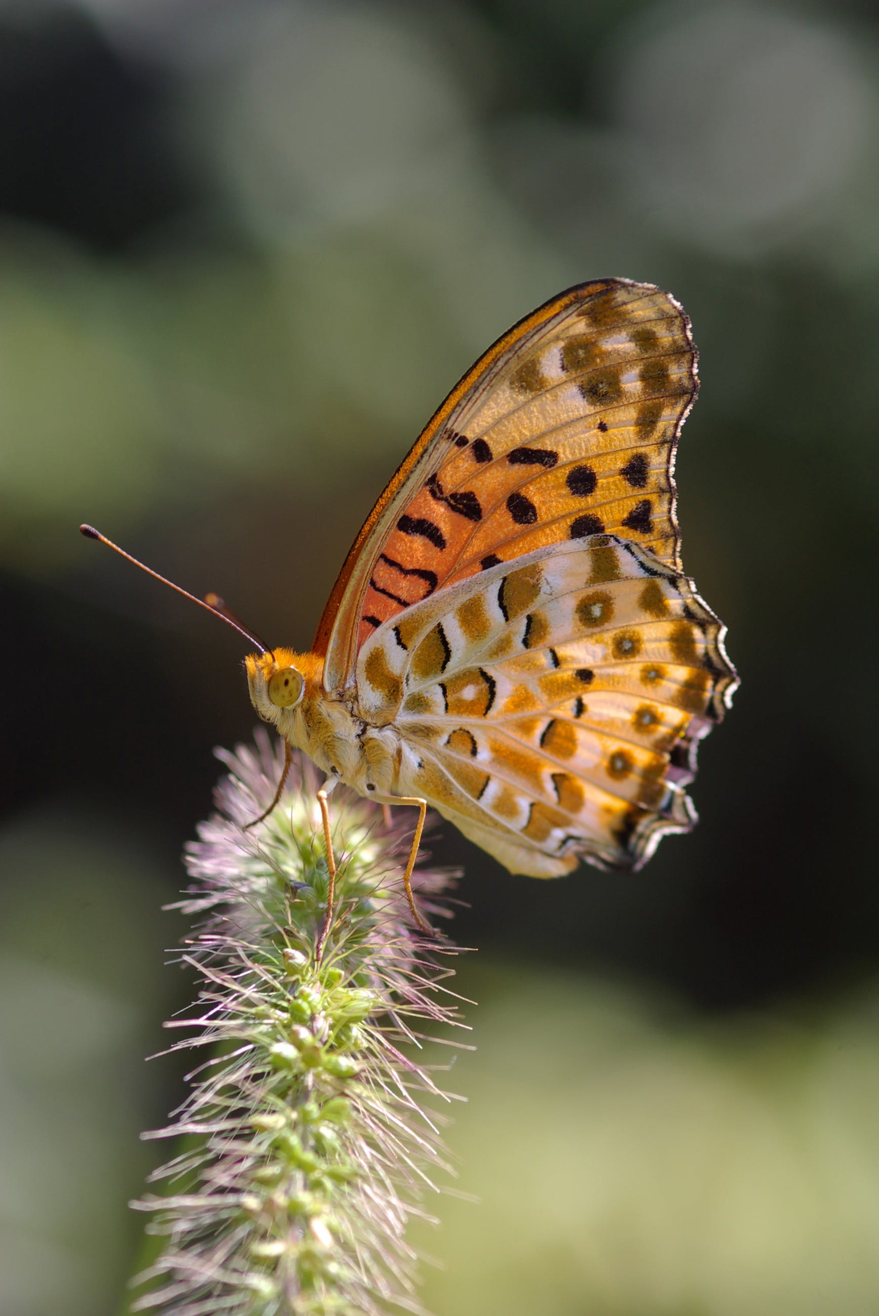 Foto profissional grátis de animal, argynnis, asas, borboleta