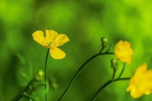 Yellow Daffodils in Bloom