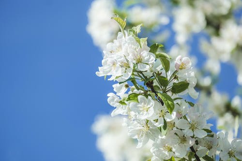 Selective Focus Photo of White Cherry Blossom Flowers in Bloom