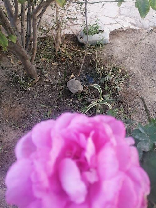 Photos gratuites de abri de jardin, fond rose, tortue