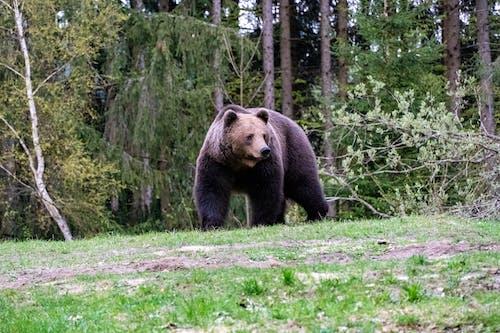 Free stock photo of american black bear animal, animal, animal attack