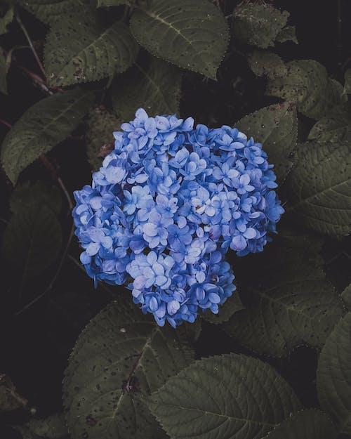 Fiore Di Ortensie Blu