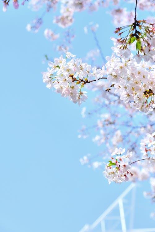 Close-Up Shot of Sakura in Bloom