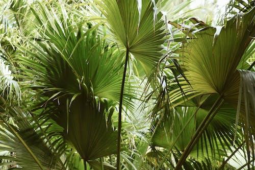 Fotobanka sbezplatnými fotkami na tému dlaň, palma, palma sveľkými vejárovitými listami, príroda