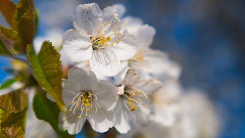 Beyaz çiçek, çiçek, çiçek açan çiçekler içeren Ücretsiz stok fotoğraf