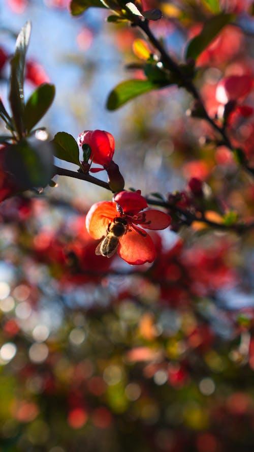 arı, bokeh, kırmızı içeren Ücretsiz stok fotoğraf