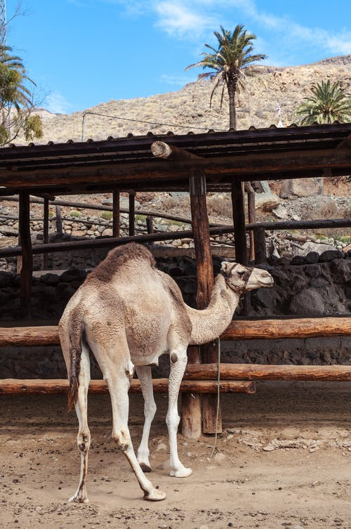 Free stock photo of agriculture, animal, arabian camel
