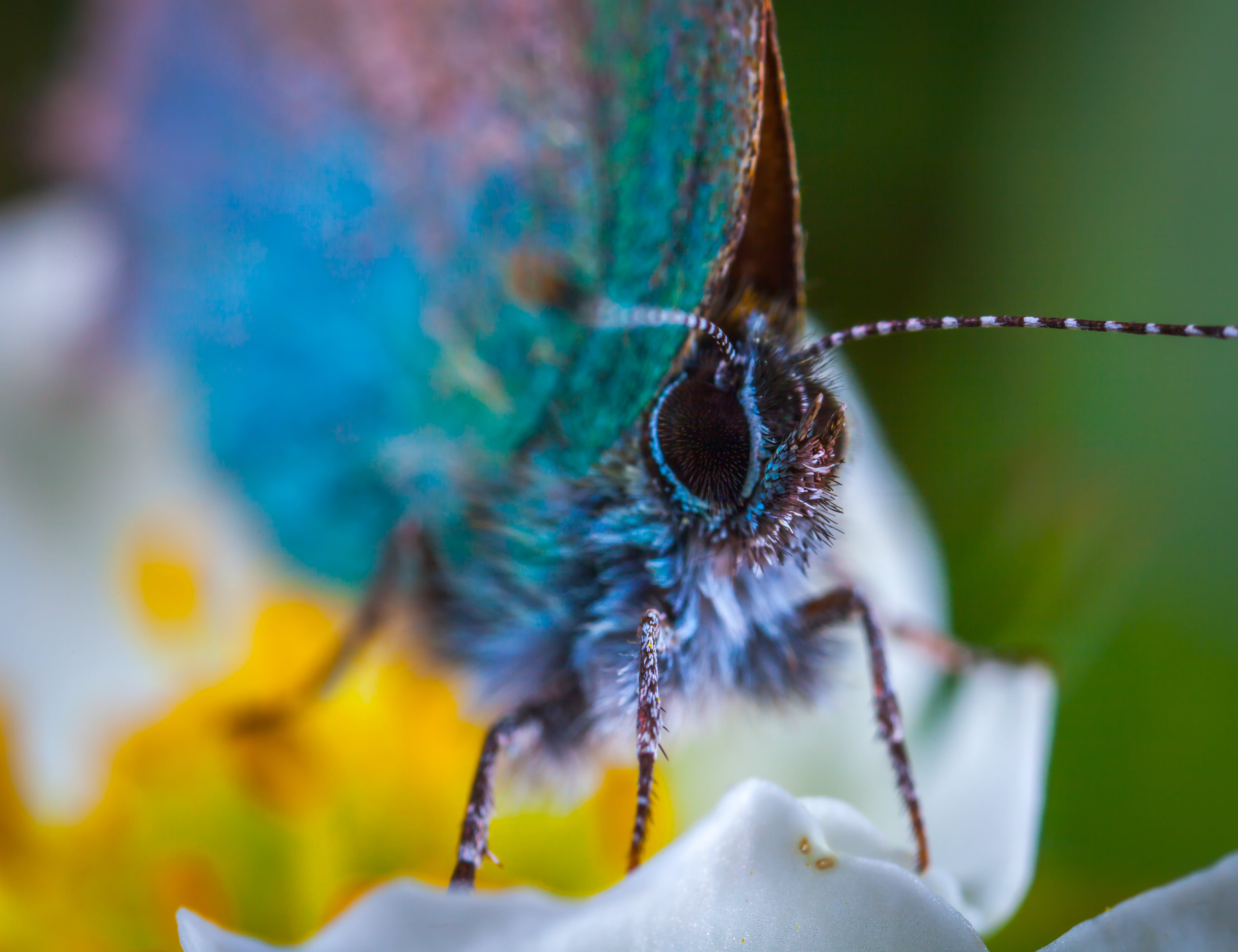 Free stock photo of flower, insect, macro, butterfly
