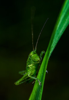 Free stock photo of insect, macro, grasshopper